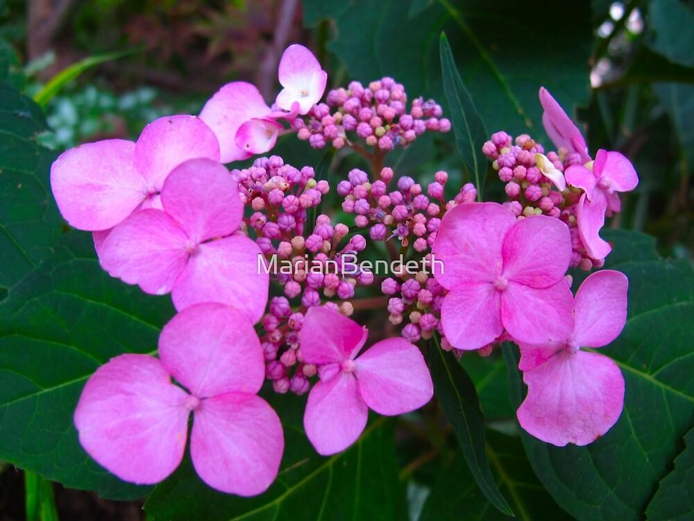 Popping Hydrangea buds by MarianBendeth