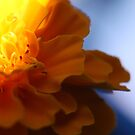 Yellow Marigold by MiloAddict