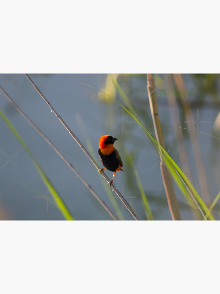 Red Bishop Posing by chanzds
