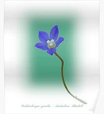 Australian Bluebell Poster