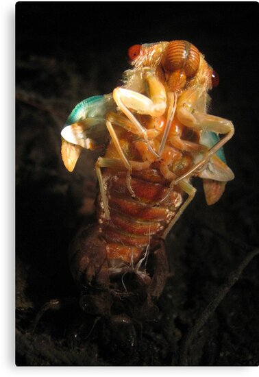 Hatching Cicada by Vanessa Barklay