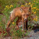 Coola Foxie by James Anderson