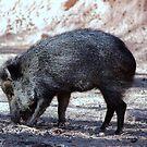 Peccary aka Javelina aka Skunk Pig by Jazzy724