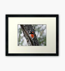 Red-Capped Robin Framed Print