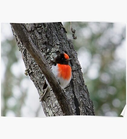 Red-Capped Robin Poster