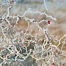festive reds by Steve Shand