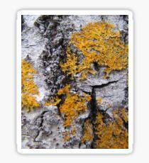old tree with nice bark Sticker