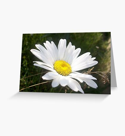 Close Up of a Margarite Daisy Flower Greeting Card