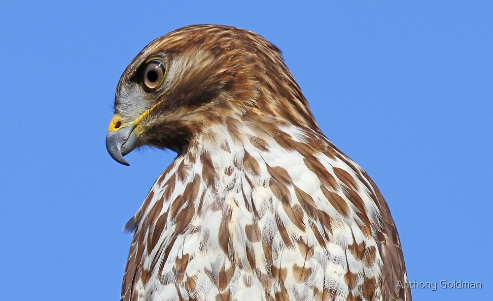 Coopers hawk profile by jozi1