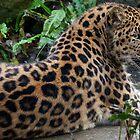The Amur leopard  ambush  by John44