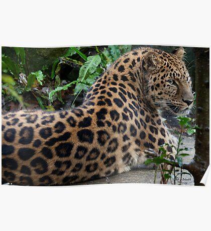 The Amur leopard  ambush  Poster