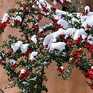 Snow-tipped berries by Tracy Riddell