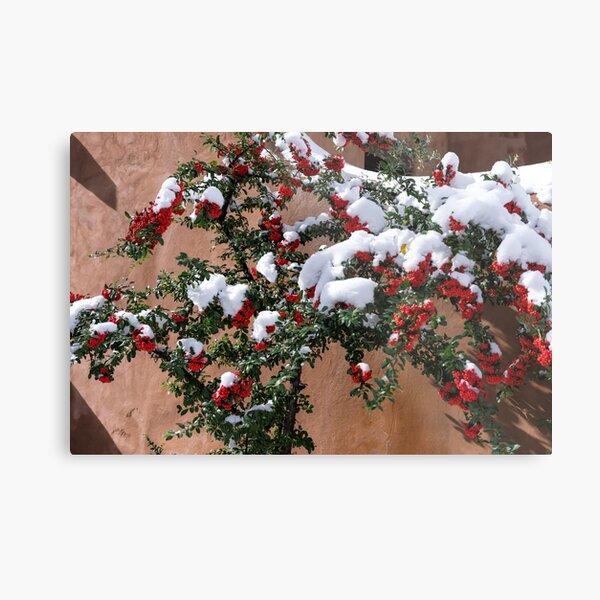 Snow-tipped berries Metal Print