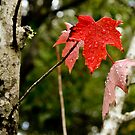 The Leaf is Red by LadyEloise