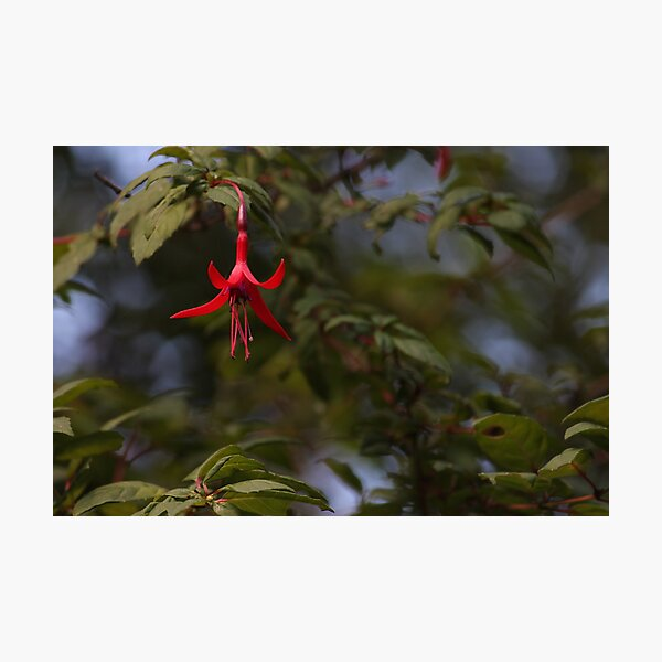 Fuchsia magellanica / Chilco Photographic Print