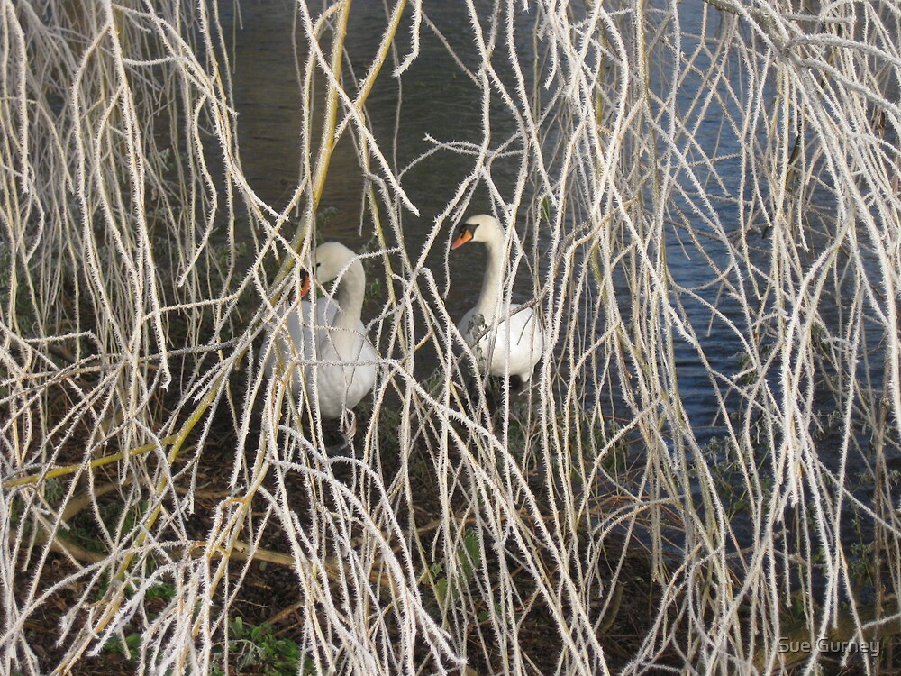 Swans through a frozen weeping willow. by Sue Gurney