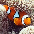 False Clown Anemonefish #2 by Robbie Labanowski