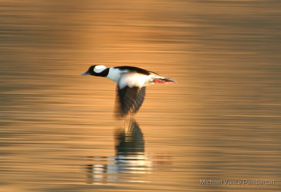 Buffle Head Duck Blur. by mikepemberton
