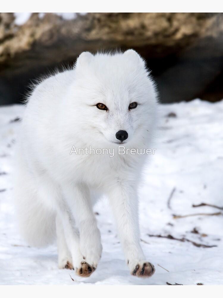 Fox trot by dailyanimals
