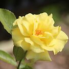 A Rose is Just a Rose by Bob Hardy