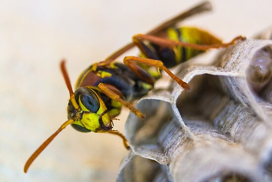 Common Paper Wasp by Todd Kluczniak