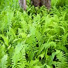 Ferns in Blackwater Falls State Park by Deb Snelson