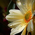 Daisy delight by Don Stott