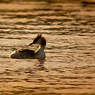 great crested grebe by Steve Shand