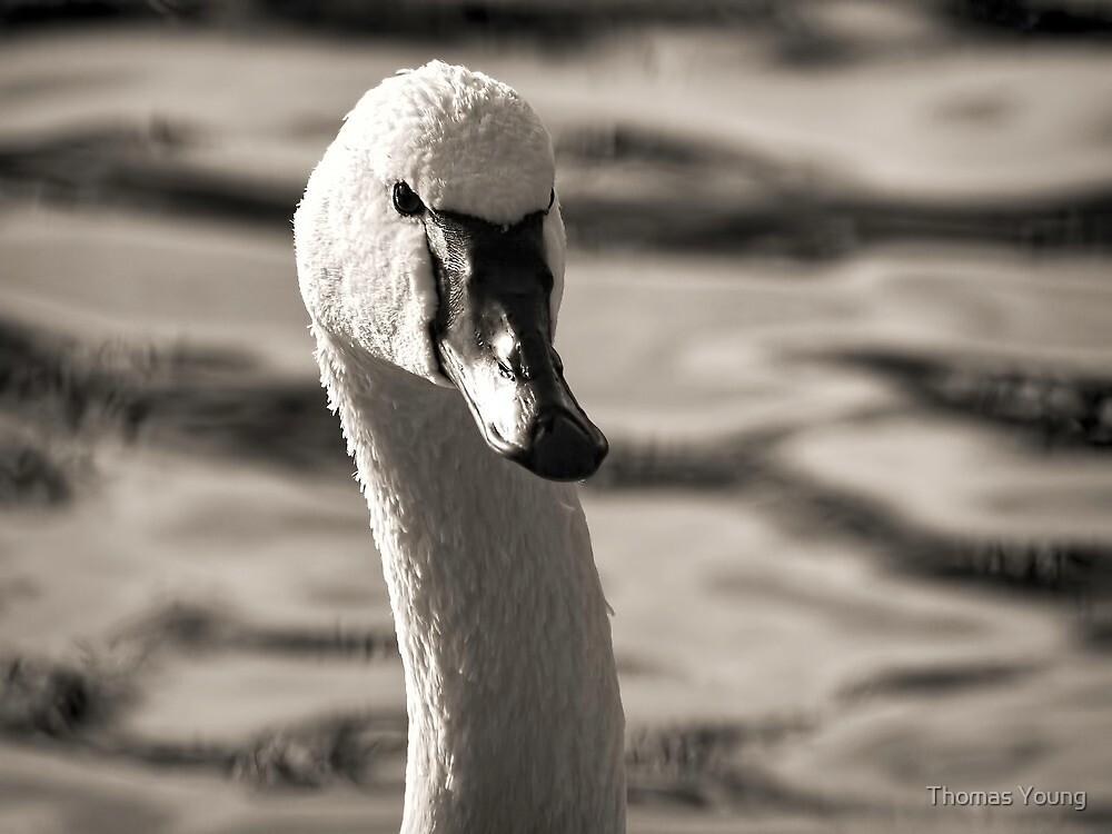 Tundra Swan by Thomas Young