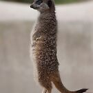 Meerkat by mps2000