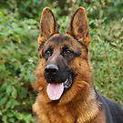 Beautiful German Shepherds  by Sandy Keeton