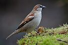 """""""Ordinary"""" house sparrow by Peter Wiggerman"""