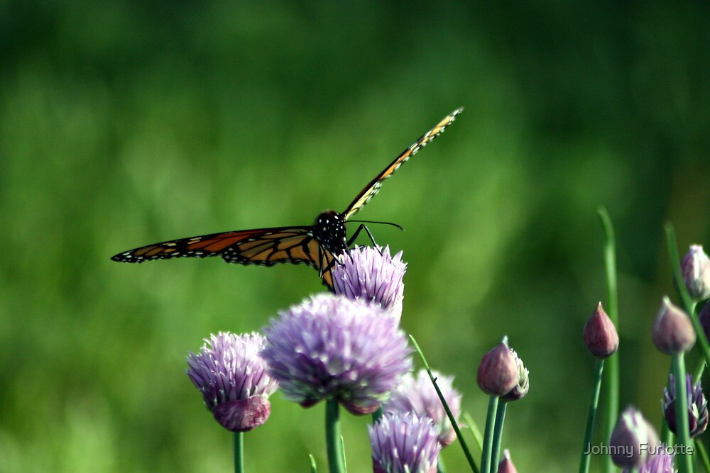 Monarch on Chives by Johnny Furlotte