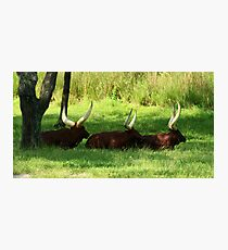 Three Ankole-Watusi Photographic Print