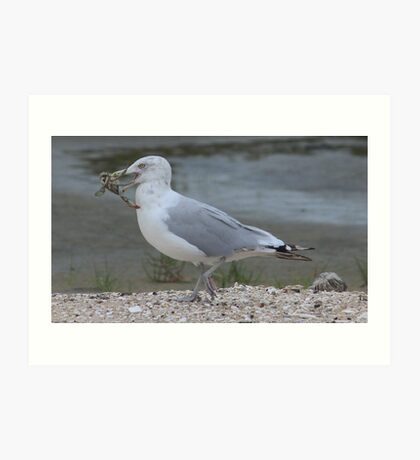 Gull with catch Art Print