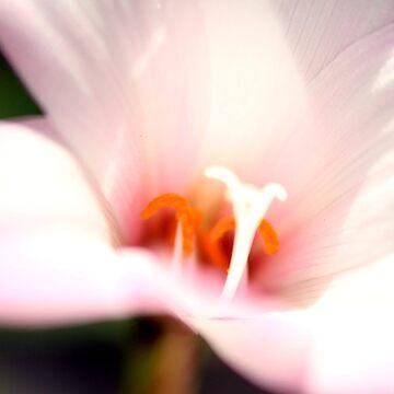 Bokeh Lily by gregAllore
