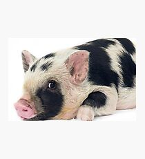 Spotty Micro pig chilling Photographic Print