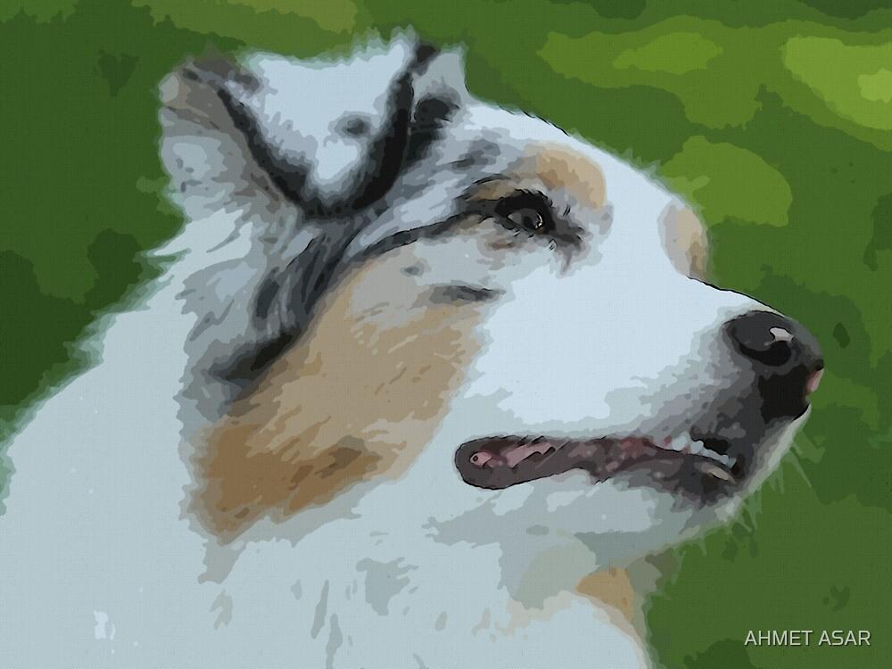 Australian shepherd pretty dog breed by MotionAge Media