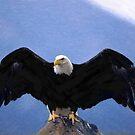 Bald eagle wingspan  by MotionAge Media