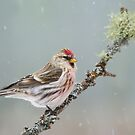 Common Redpoll by Daniel Cadieux