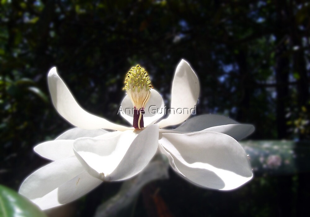 Magnolia by Anne Guimond