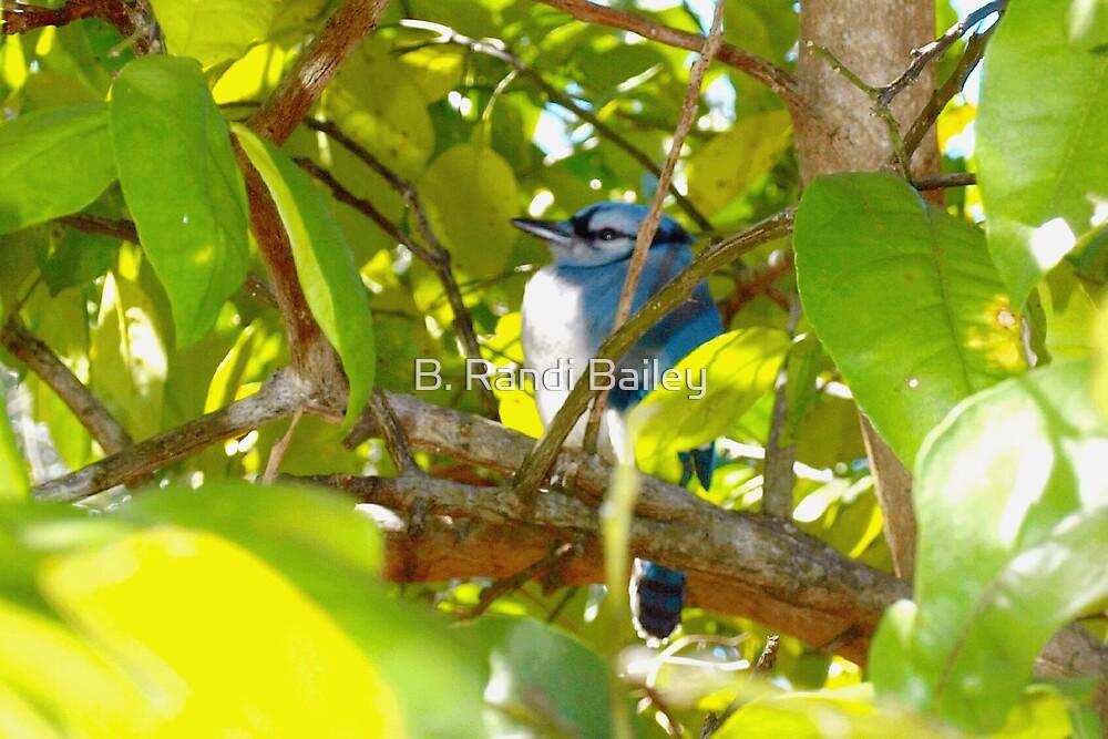 Stout young blue jay by ♥⊱ B. Randi Bailey
