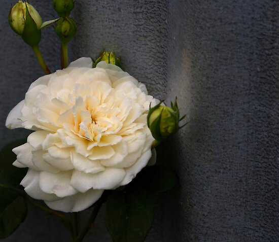 The rose beside the wood shed by Clare Colins