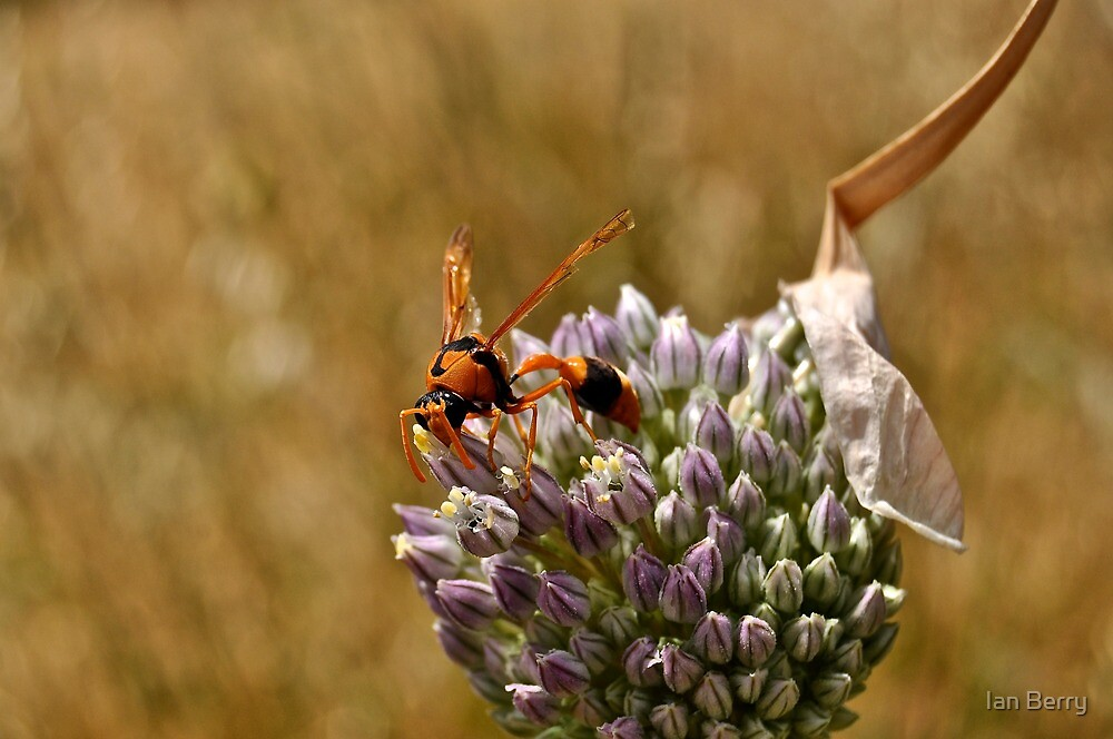 Orange Potter Wasp by Ian Berry