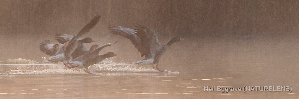 Early Morning Greylags by Neil Bygrave (NATURELENS)