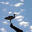 Australian White Ibis by MargaretMyers