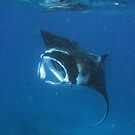 Manta at Nivani by Reef Ecoimages