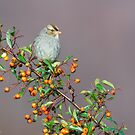 Female White-Crowned Sparrow on Firethorn by (Tallow) Dave  Van de Laar