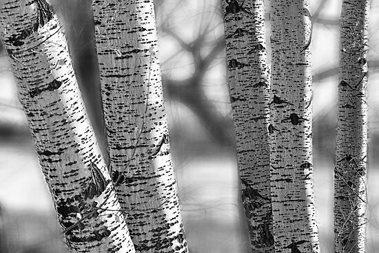Colorado White Birch Trees in Black and White by Bo Insogna