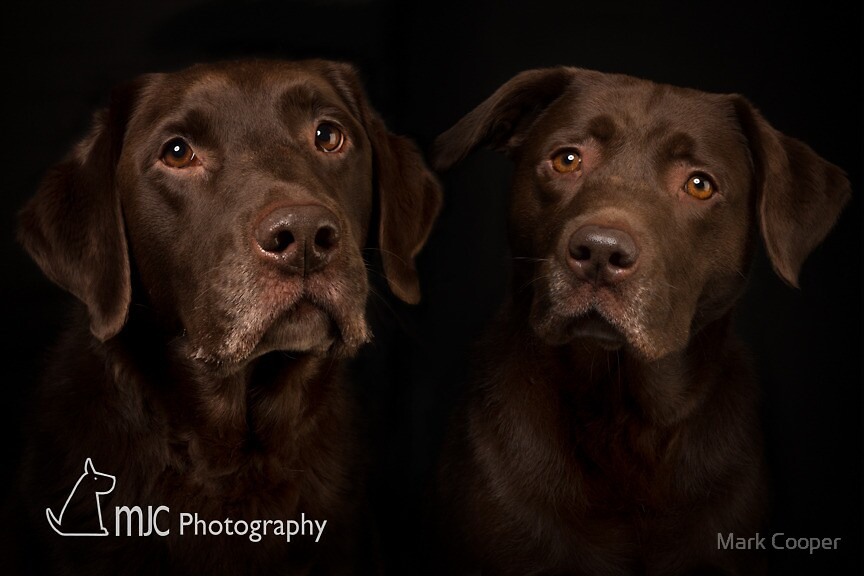 Chocolate Labrador 5 by Mark Cooper